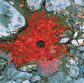 andy_goldsworthy_maple_leaves_arrangement